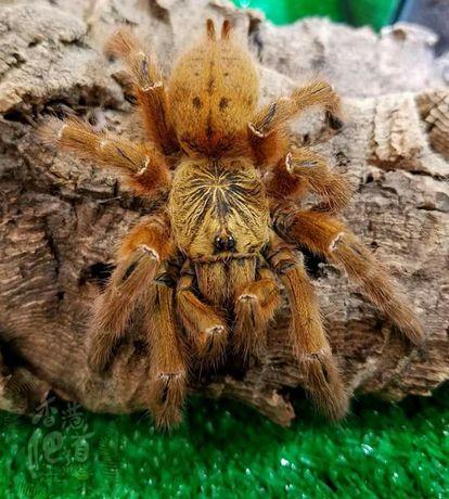 паук Pterinochilus murinus L 7 -8 самка
