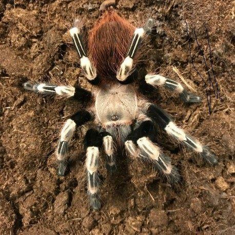 Павук Nhandu chromatus паук птицеед недорого