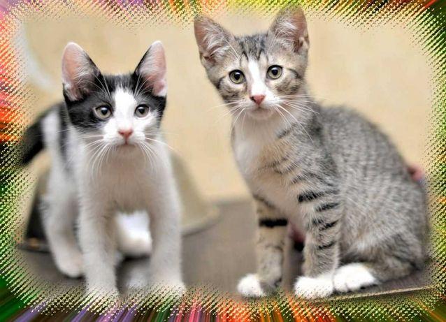 Кокетки котята в кружевной шали,,девочки мальчики котенок
