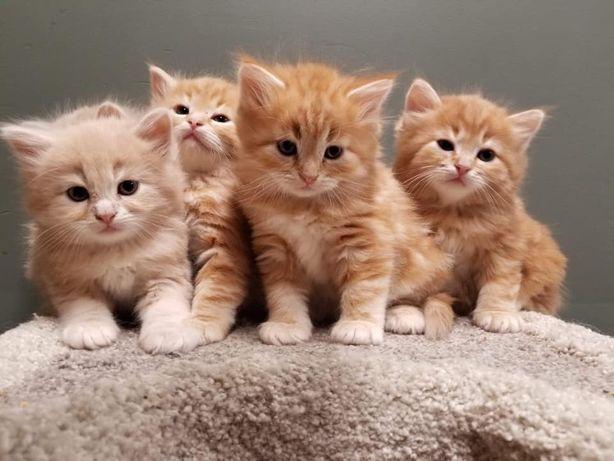 Розкішні кошенята хлопчики Шотландський Хайленд Страйт прямовухі
