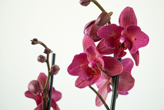 Орхідея фаленопсис метелик Паваротті/Phal. Pavarotti