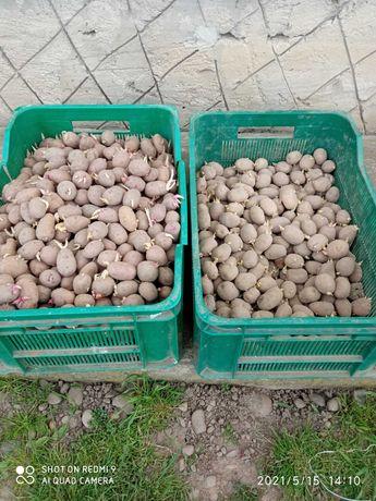 Картопля насінна для їди