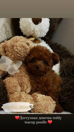 Teddy teacup poodle, девочка!