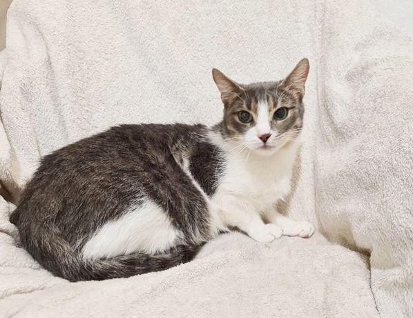 Грациозная двухцветная кошечка Италия, 1 год (котенок, кошка)