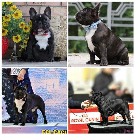 Перспективный щенок французского бульдога