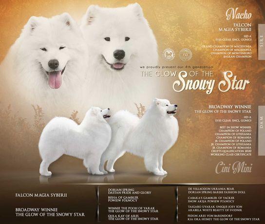 Samoyed / samojed - The Glow Of The Snowy Star - listopad 2021
