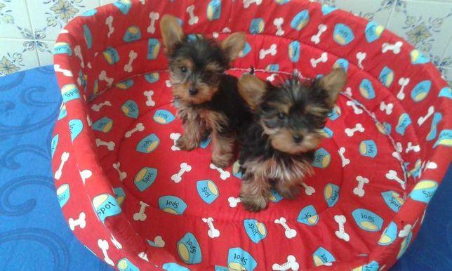 Yorkshire terrier miniatura criado em ambiente familiar