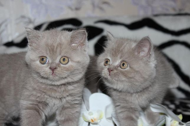 Настоящие Шотландские котята Лиловые