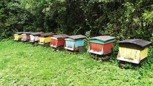 Sprzedania pszczoły, sprzedam ule wielkopolskie.