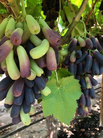 Рассада\саженцы винограда