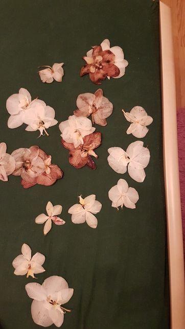 Сухоцвіти / сухоцвет орхидей,рози