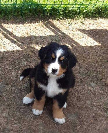 Berneński  Pies Pasterski-szczeniaki sprzedam