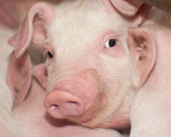 Ремонтные свинки