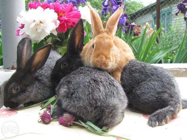 Кролики мясных и мясо-шкурковых пород: ПС, БСС, Бургундцы, ВГ, ВБ, НПВ