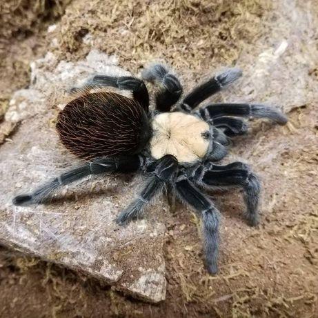 Идеальные пауки для новичков Птицеед Brachypelma albiceps Украина