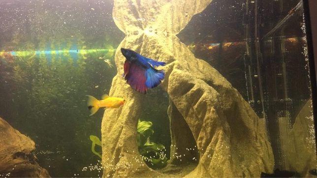 Bojownik - rybka