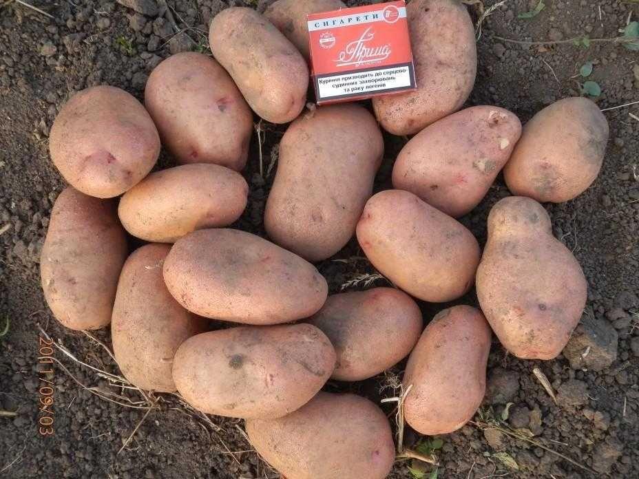 Семенной картофель Тирас, Ривьера, Славянка отправляем почтой