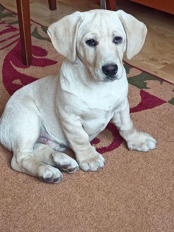 Szczeniak pies w typie miniaturki labradora
