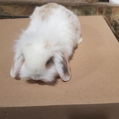 Coelhinhos bebes mini lop (orelhudos) na minha criacao