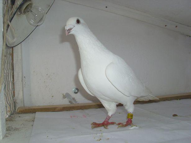 pocztowy pocztowe golebie ozdobne-samiec