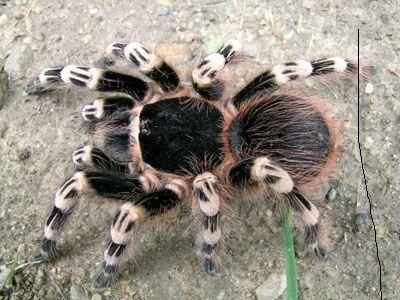 самець павук птахоїд Acanthoschurria geniculata L7 паук птицеед дешево