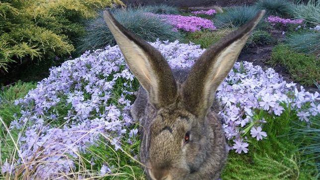Кролики породы Фландр Бельгийский Великан.