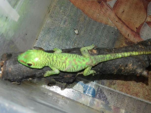 Дневной геккон Фельзума