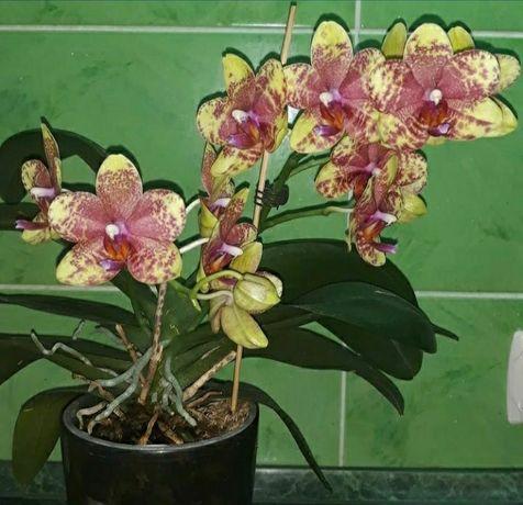 Орхидея восковик