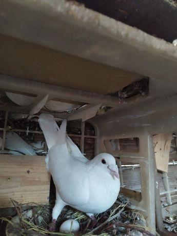 Gołębie Białe Chcę szybko sprzedać