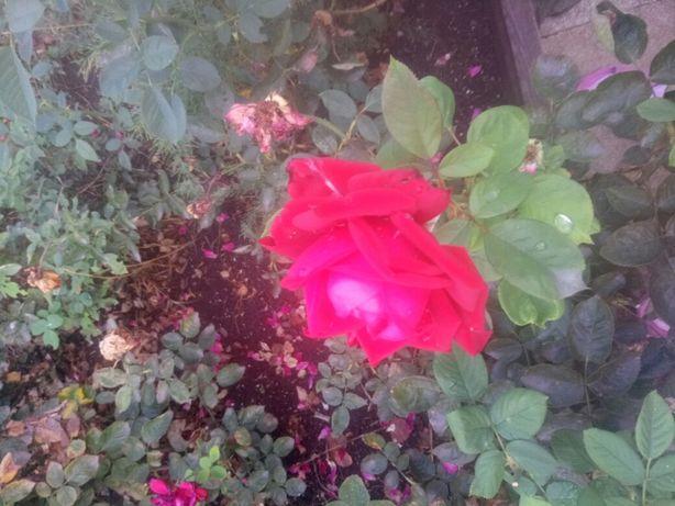 Кусты роз большие