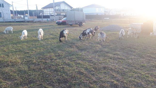 Хороше породисте стадо кіз (8 кіз + 1 козел)