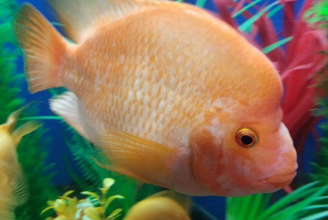 Цитроновая цихлазома, Лабиатум, Фортуна. Рыбки по 15 и 20 см