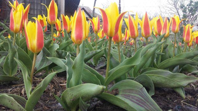 Продам карликовые тюльпаны Стреза сорта Кауфман