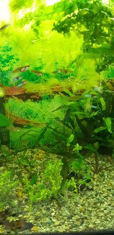 Rybki gubiki japan blue