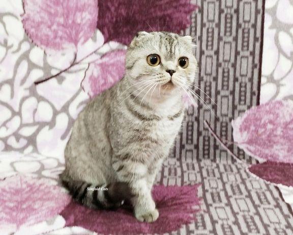 Кошечка шотландская вислоухая. Котята вислоухие