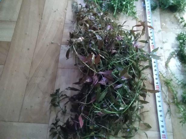 Dwa zestawy roślin po 100 sztuk gratisy hodowla u Gibsona