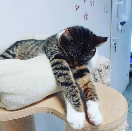 Portos szuka domu Bardzo lubi inne koty Idealny na dokocenie