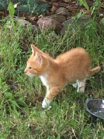 Oddam rudego kociaka