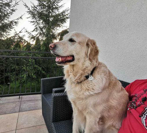 Zaginął pies Golden Retriver  dla znalazcy NAGRODA