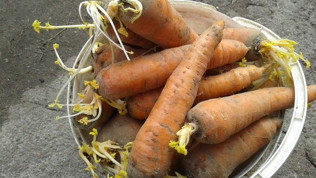 продам морковь по 7 грн. за 1 кг.
