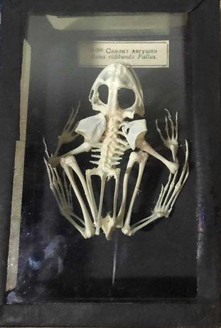 Объемная модель Скелеты хордовых Скелет лягушки