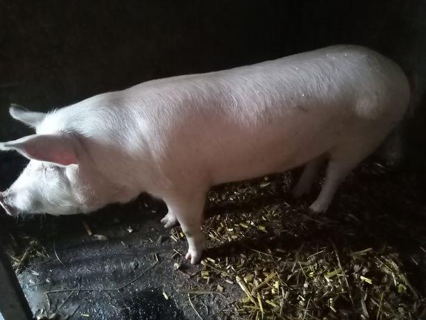Свинья годована кашою