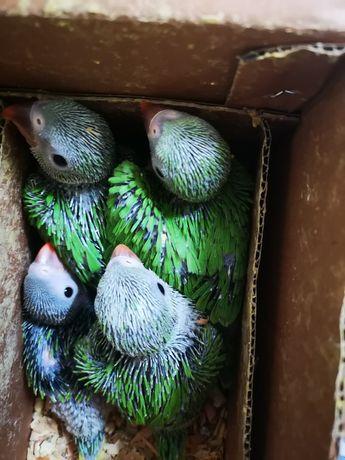 Ring Neck Verdes filhos de mãe azul