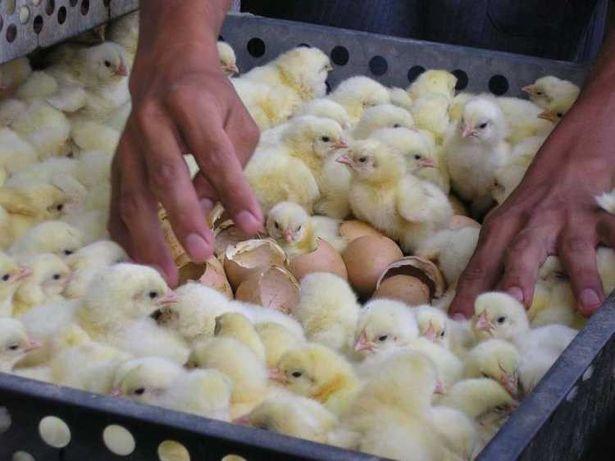 Бройлер Кобб 500, Росс 708, Росс 308 инкубационное яйцо