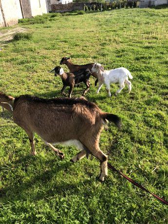 Koza alpejska anglonubijska