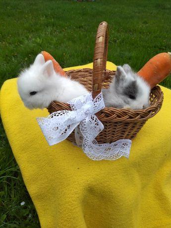 Декоративні карликові кролики.