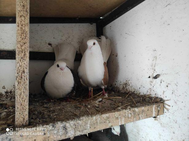 Gołębie orliki czyliki