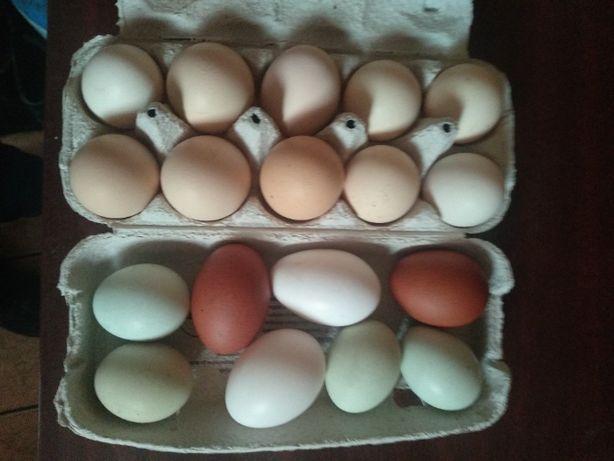 jaja lęgowe mixy kur niosek