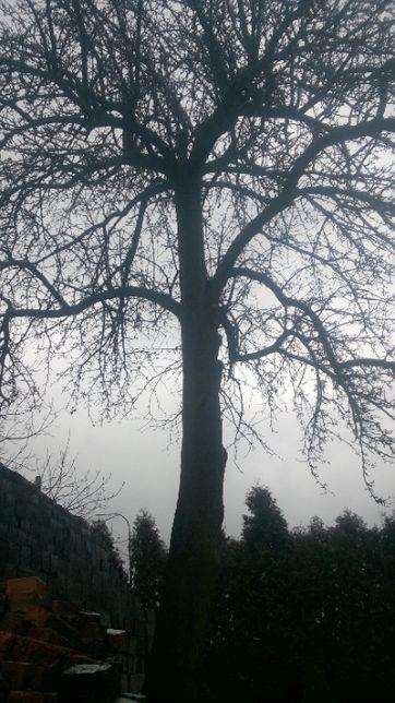 Drzewo Grusza do sprzedania pień 6m ,obwód 1,5m