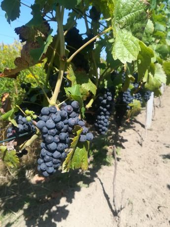 Sadzonki winogron przerobowych, Regent , Solaris. Cabernet Dorsa .